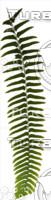 15 Fantasy Ferns