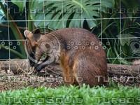 Kangaroo_17.jpg