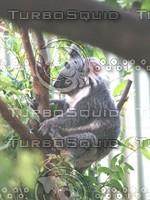 Koala_Bear_11.jpg