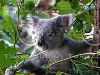 Koala_Bear_6.jpg