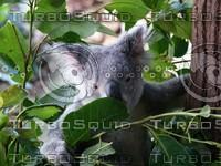 Koala_Bear_7.jpg