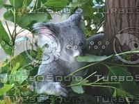 Koala_Bear_8.jpg