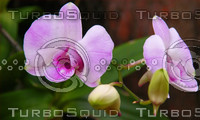 THE ROYAL ORCHID FLOWER