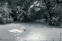 Swan in a winter forest lake