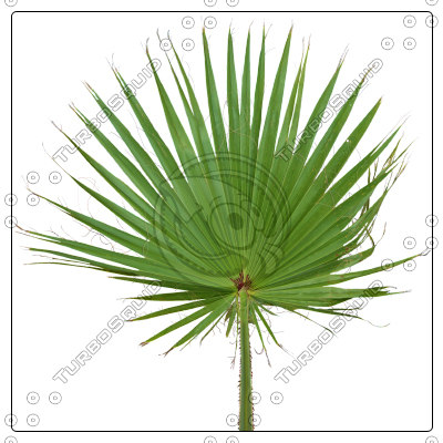 livistona_palm_leaf01_preview01.jpg