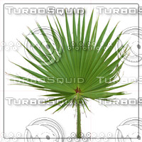 LIVISTONA PALM LEAF 01