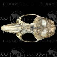 dorsal_skull001.jpg
