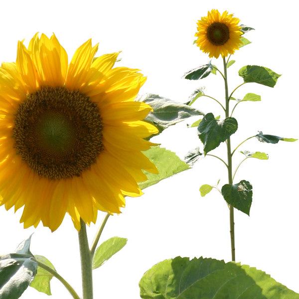 sunflowerp.jpg