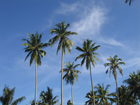 five coconut trees