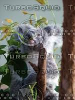 Koala_Bear_16.jpg