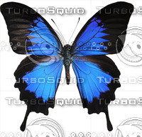 Butterfly Papilio Ulysses Indonesia.rar