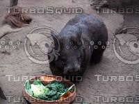 Pig_Rat_1.jpg
