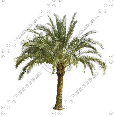 dates-palm-tgp.jpg