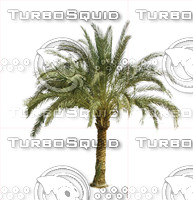dates-palm.jpg
