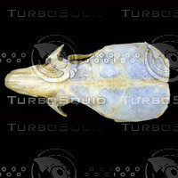 dorsal_skull002.jpg