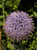 thistle plant.jpg