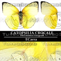 Butterfly Catopsilia Crocale