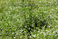 Field of Tiny Flowers.jpg