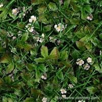 GrassStrawberry