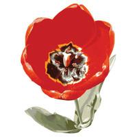 SPV_Tulip001