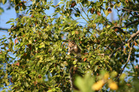 Squirrel in Orange Tree.jpg