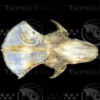 dorsal_skull003.jpg