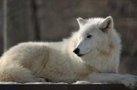 wolf.wav