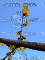 Plum Blossom 20090121a 098