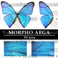 Butterfly Morpho Aega