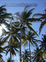 Coconut Palms.JPG