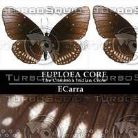 Butterfly Euploea Core