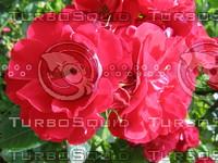 flower rose