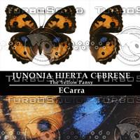 Butterfly Junonia Hierta Cebrene