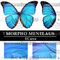 Butterfly Morpho Menelaus