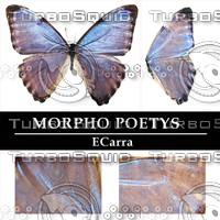 Butterfly Morpho Poetys