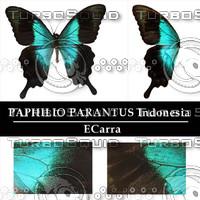 Buttefly Paphilio parantus Indonesia