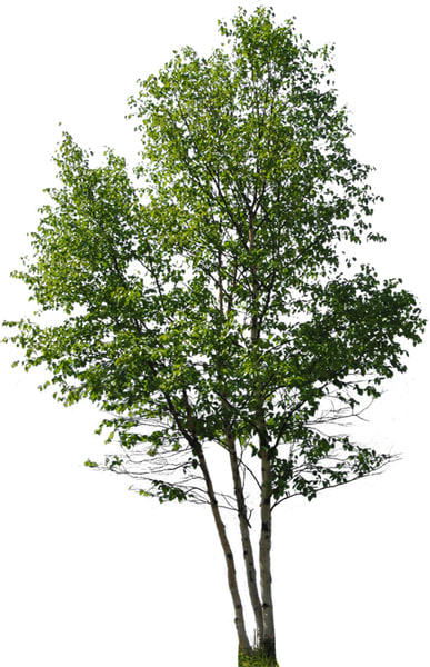 River Birch cover.jpg