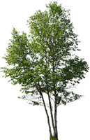 Whitespire Birch Clump