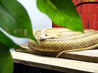 Yellow Rat Snake.jpg