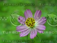cosmos caudatus (flower)
