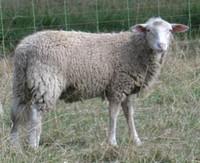 sheep.wav