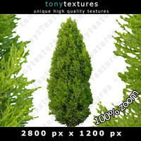 Cutout Cypress Texture - Bush High Resolution
