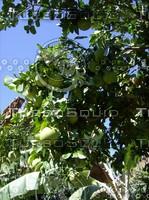Grape Fruit.JPG