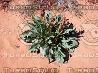 Las Vegas Desert Lily.jpg