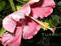 Pink Hibiscus side view.jpg