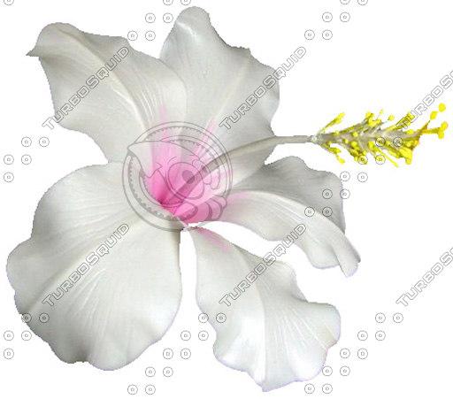 dd_hibiscus0001.JPG