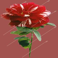 new red rose png.png