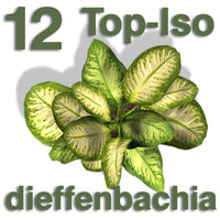 Top Views - dieffenbachia