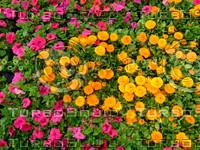 Flower 20090405 004