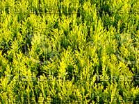 Cypress 20090409 014